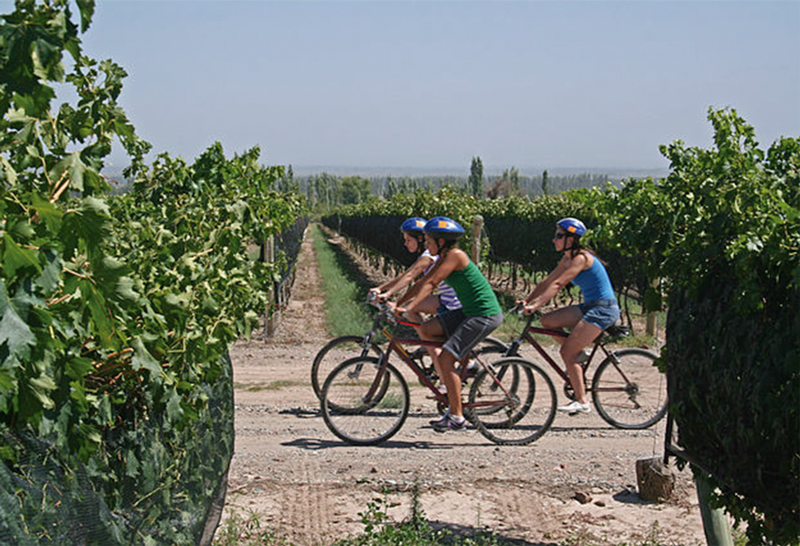 People riding bicycles around the vineyard